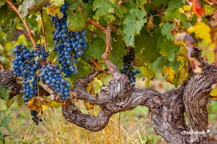 Wein Zitate, Weinsprüche, Weinweisheiten